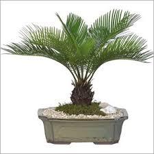 ornamental plants ornamental plants exporter supplier trading