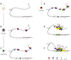 uncovering enhancer functions using the α globin locus