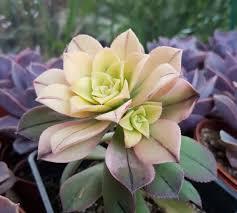 aeonium kiwi succulent plant succulents indoor plant succulent