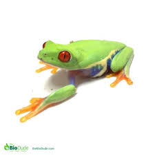 bioactivity and eyed tree frogs by josh halter