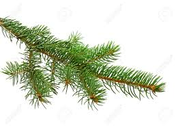 branch of christmas tree on white background stock photo picture