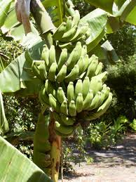 mini banana tree many people do not know that the fruit grows upside down on large