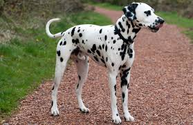 dalmatian breed history information pictures pawculture
