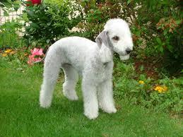 bedlington terrier wikipedia