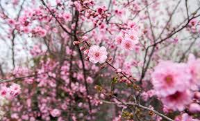flower places plum blossoms in japan best places for 2018 jrailpass