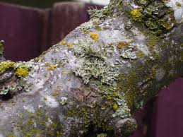 please help id algae fungus problem on apple tree trunk