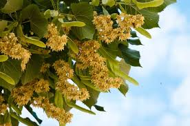 the sweet scent of the linden trees