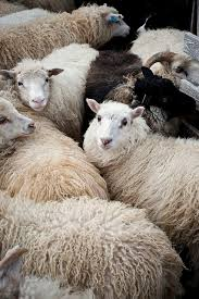 Sheep Toaster 132 Best Sheep Images On Pinterest Sheep Animals And Farm Animals