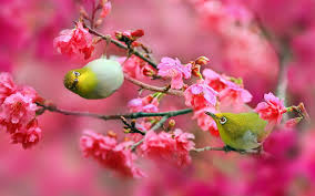 cherry blossoms yahoo image search results trees