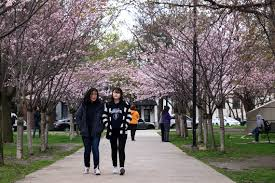 Cherry Blossom Tree Facts by Forget The Lines At High Park Check Out U Of T U0027s Cherry Blossoms