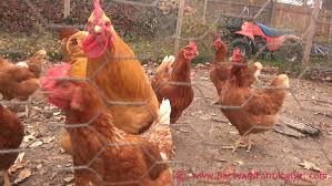 Chicken Backyard by 11 Things You Don U0027t Know Until You Raise Chickens Backyard