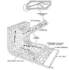 mic uk the inner epidermis of the onion bulb cataphylls