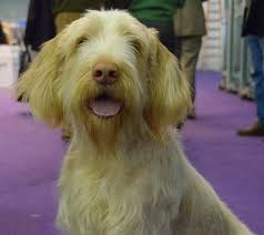 westminster australian shepherd 2014 micca the spinone italiano westminster kennel club dog show 2014