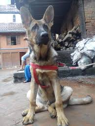 belgian malinois weight at 8 months want to know how your gsd puppy growth chart compares to others