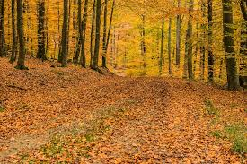 free photo beech wood forest deciduous forest trees max pixel