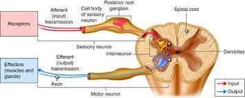 What Is Interneuron Neuron Anatomy