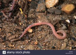 freshwater rivers galicia spain annelid bristle worms worm