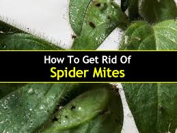 how to get rid of spider mites t1 jpg