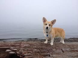 beach thanksgiving devyn the corgi enjoys a foggy thanksgiving morning on alki beach