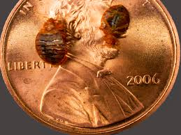 Bed Bugs In Sofa by Where Do Bed Bugs Come From Identify Bed Bugs Info