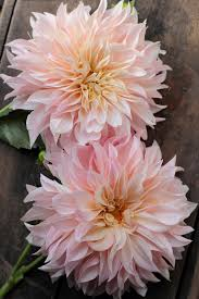 dahlias flowers how to taking dahlia cuttings to build your stock n fresh