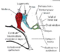 Ear Anatomy Pictures Anatomy Of The Ear Ear Surgery Information Center