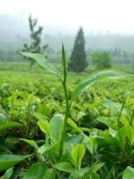Teh Afrika teh kontrol gula darah sehatherba