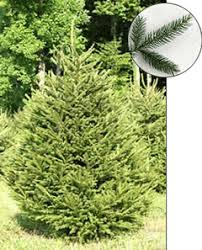 spruce pine trees for sale concord ohio lake county