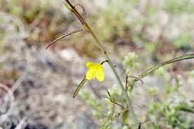 camissonia u0027s ca native plant life list eulobus californicus