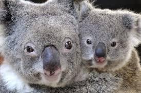 baby koala clings mother u0027s abc australian