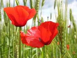 Imagenes Flores Relajantes | flores relajantes amapola y cantueso web de la belleza