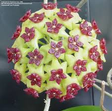 full size picture of hoya wax plant porcelain flower hoya