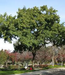 tipu tree drought tolerant trees san diego