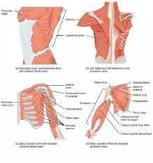 Innervation Of Supraspinatus Muscles Of The Shoulder And The Upper Arm