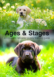 australian shepherd weight at 8 months puppy training schedule ages and stages in labrador puppy training