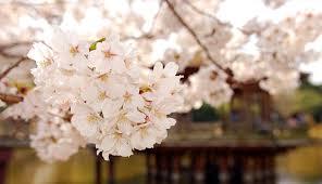 white cherry blossom 50 lovely cherry blossom wallpapers to brighten your desktop