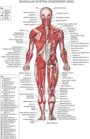skeletal muscular system coloring pages belly fascia human