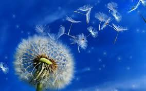 android freeware dandelion live wallpaper dandelion live wallpaper free app