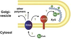 o acetylation of arabidopsis hemicellulose xyloglucan requires