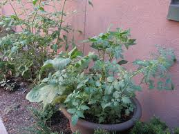 Eggplant In Container Garden Stay Gardening U2013 Community Garden U0027s First Year At Silk Factory Lofts