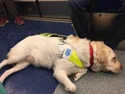 Blind Dog And His Guide Dog Gopro Wearing Guide Dog Brings Awareness To U0027super Hard U0027 Job Abc