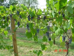norton grapes almost ready to harvest july 28 2009 beavers