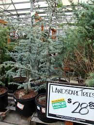 danger garden i m dreaming of a blue atlas cedar