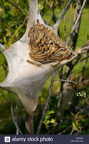 Home Nest by Silk Home Nest Of Eastern Tent Caterpillars Malacosoma Americanum