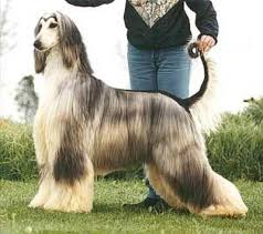 afghan hound breeders europe gengala total eclipse ahi afghan hound pedigree database