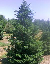 balsam tree balsam fir tree farm nursery sale mn arbor hill tree farm
