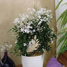 best 25 jasmine plant indoor ideas on pinterest money plant