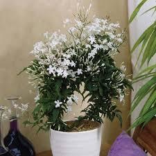 Fragrant Night Blooming Plants - best 25 jasmine plant indoor ideas on pinterest best plants for