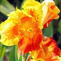 Canna Lily Cannas Canna Lilies