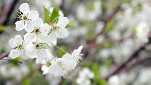 bee pollinating flowering trees flowers motion nature